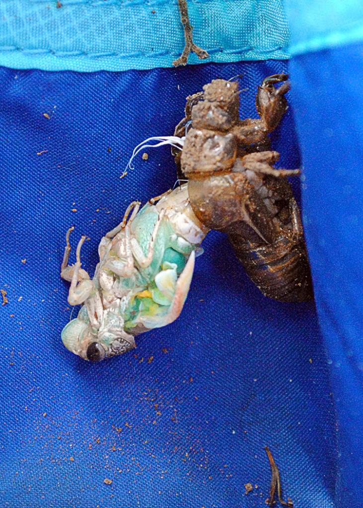 emerging cicada 11:22am