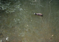turtles at cedar grove waterhole