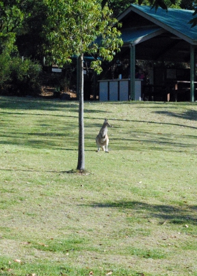 one of many kangaroo