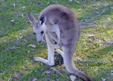 juvenile grey kangaroo